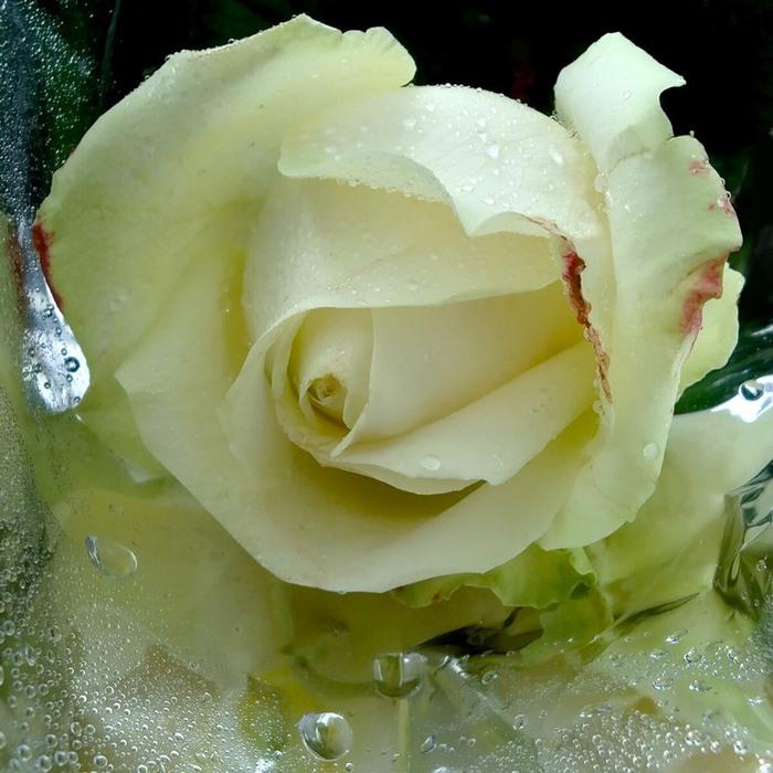 благоухала роза белая (700x700, 113Kb)