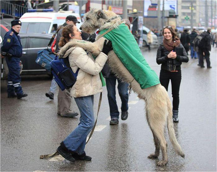 огромный пес (700x554, 77Kb)