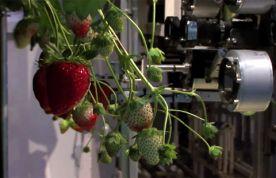 strawberry_picking_robot-276x178 (276x178, 12Kb)