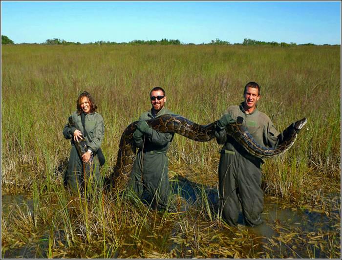 Гигантские питоны уничтожают Флориду