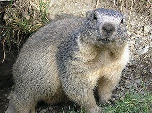 300px-Marmota_marmota_Alpes2 (300x224, 25Kb)