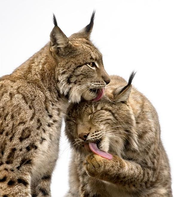 Большие кошки (фото) - Фауна - Природа - Каталог статей ...: http://belovan.ucoz.ru/publ/priroda/zhivotnyj_mir/bolshie_koshki_foto/29-1-0-651