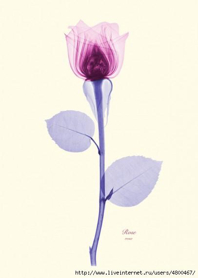 цветы фото/4800467_1330502230_xray2 (406x570, 44Kb)