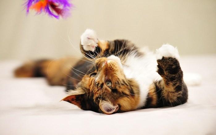 обои-для-рабочего-стола-картинки-1680-1050-Фотки-кошек-Кошка-фото-кошек-Ni749767 (700x437, 43Kb)