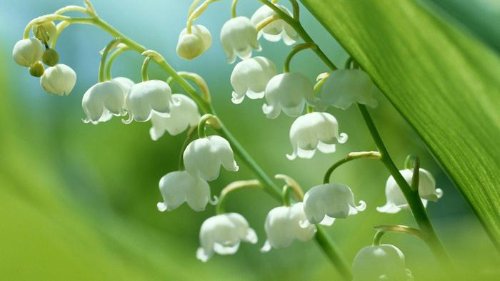 1330592521_u17782_2486_flowers_5201920x1080 (700x394, 29Kb)