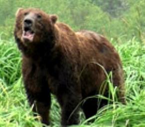 Медведь-гризли (291x256, 22Kb)