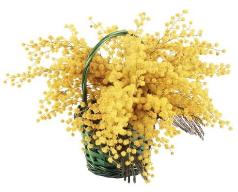 Картинки цветов мимоза 1