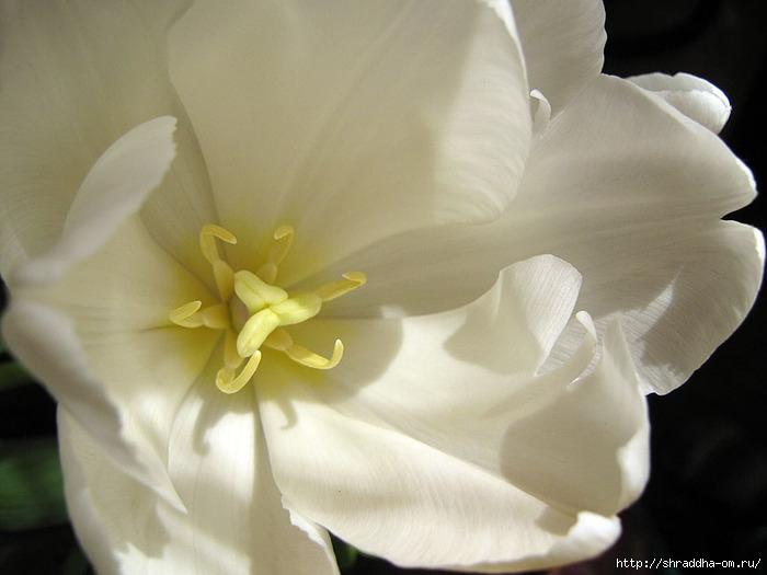 тюльпан 1 (700x525, 160Kb)