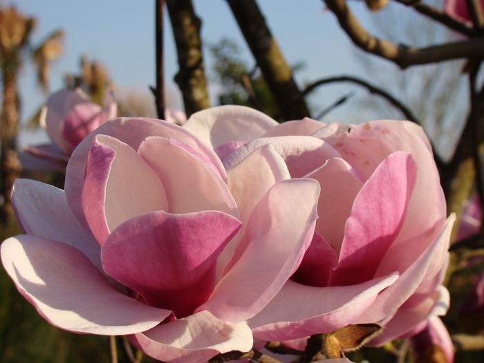 магнолии в цвету Ольга Максимова (2) (700x525, 246Kb)
