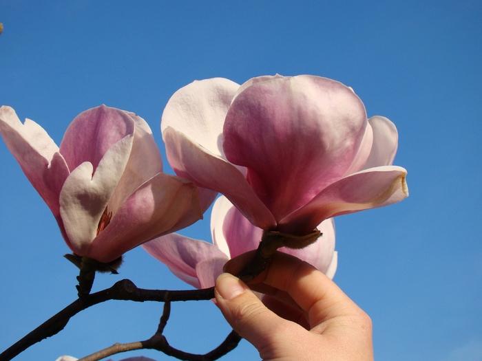 магнолии в цвету Ольга Максимова (3) (700x525, 237Kb)