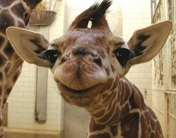 Очаровательные маленькие жирафы. Фото 01 (600x473, 37Kb)