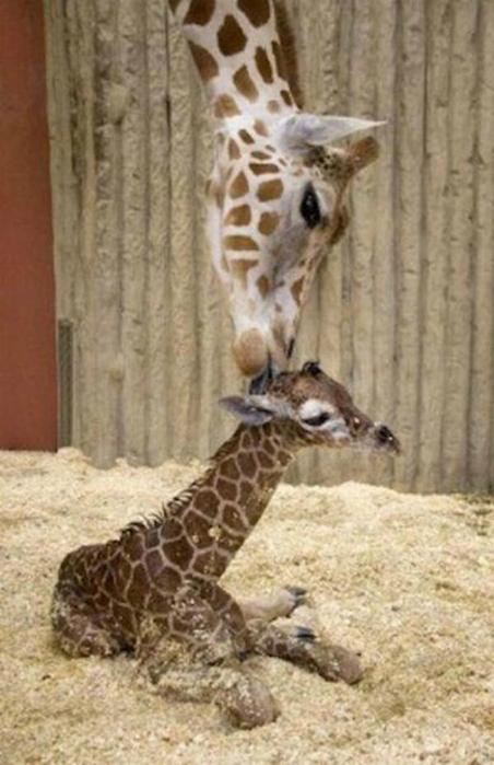 Очаровательные маленькие жирафы. Фото 05 (452x700, 288Kb)