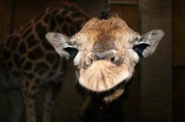 Очаровательные маленькие жирафы. Фото 09 (600x397, 21Kb)