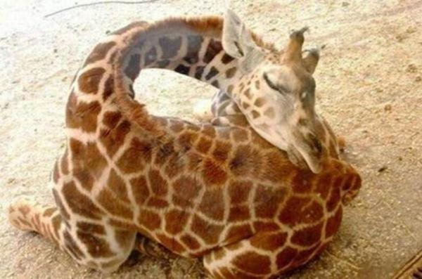 Очаровательные маленькие жирафы. Фото 11 (600x397, 41Kb)