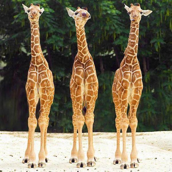 Очаровательные маленькие жирафы. Фото 13 (600x602, 67Kb)