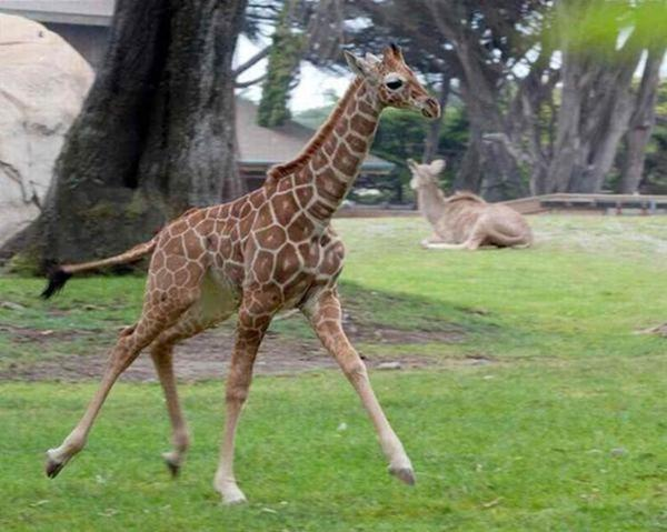 Очаровательные маленькие жирафы. Фото 15 (600x479, 47Kb)