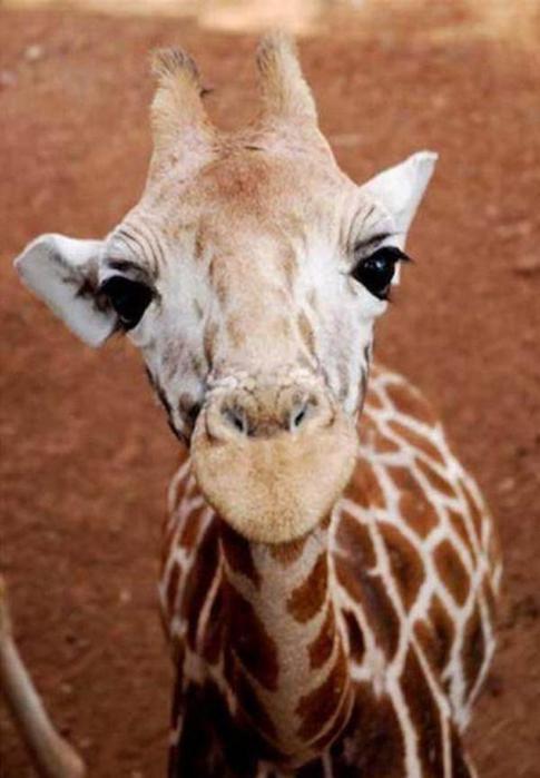 Очаровательные маленькие жирафы. Фото 17 (485x700, 39Kb)