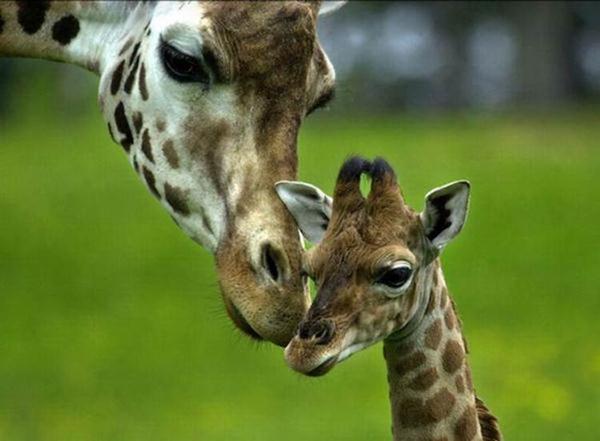 Очаровательные маленькие жирафы. Фото 19 (600x441, 31Kb)