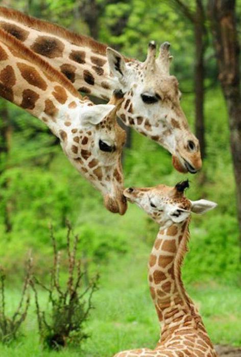 Очаровательные маленькие жирафы. Фото 23 (472x700, 50Kb)