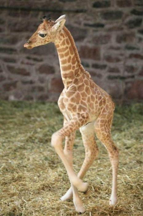 Очаровательные маленькие жирафы. Фото 27 (465x700, 311Kb)