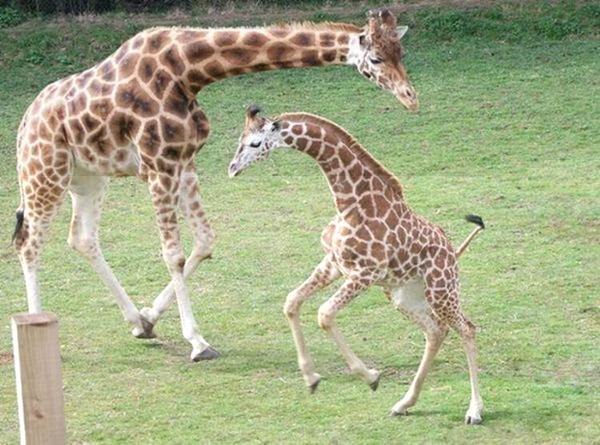 Очаровательные маленькие жирафы. Фото 31 (600x445, 60Kb)