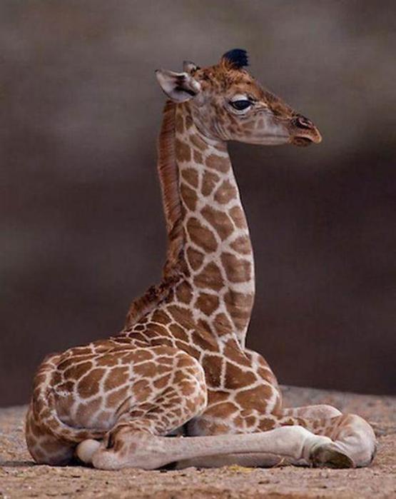 Очаровательные маленькие жирафы. Фото 35 (555x700, 41Kb)