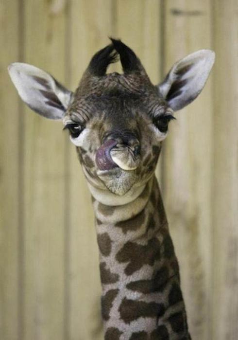 Очаровательные маленькие жирафы. Фото 39 (490x700, 30Kb)