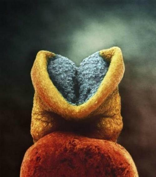 22 дня. Развитие эмбриона. Серым цветом — будущий головной мозг