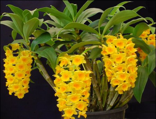 Dendrobium_gystocvetnii (500x382, 66Kb)