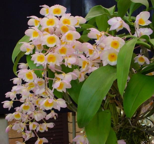 Dendrobium (620x582, 90Kb)