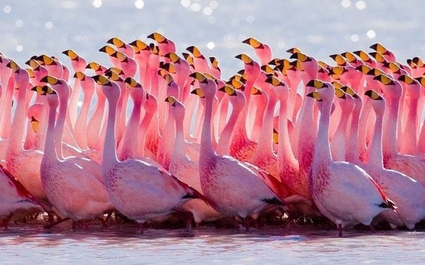 фламинго (604x377, 63Kb)
