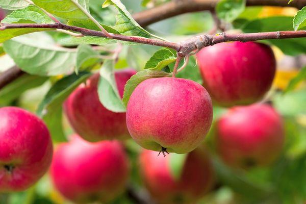 22.04.15 яблоки уд. (600x400, 35Kb)