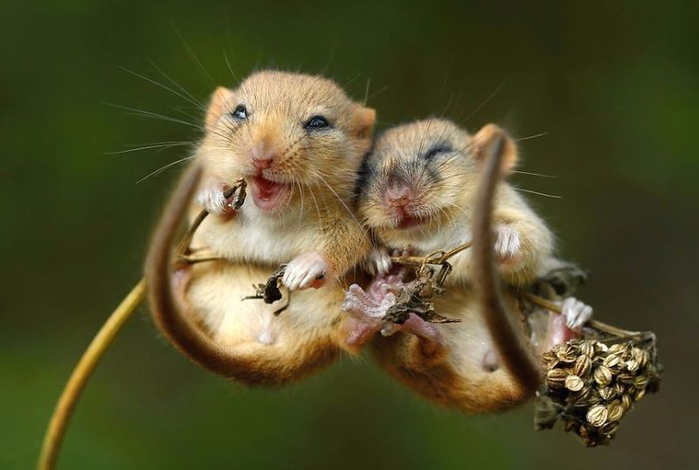 мышки любовь (700x470, 237Kb)