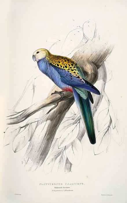 Platycercus_adscitus_-Platycercus_palliceps._Paleheaded_Parrakeet_-by_Edward_Lear_1812-1888 (439x700, 241Kb)