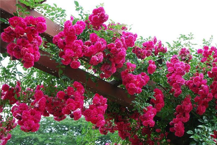 pletistaja-roza-4 (700x468, 425Kb)