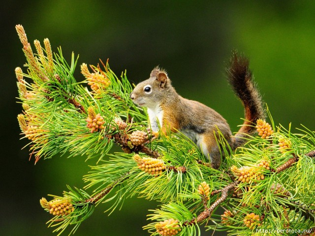 4979645_PineSquirrel480x640 (640x480, 261Kb)