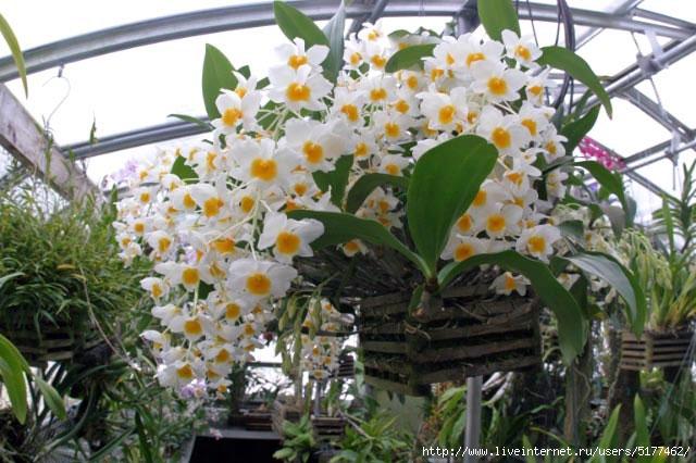 5177462_orhideya_120_dendrobiym_foto_www_bigcatalogphotos_ru (640x426, 188Kb)