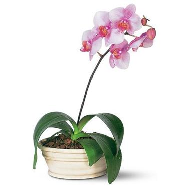 phalaenopsis1_1 (349x370, 12Kb)