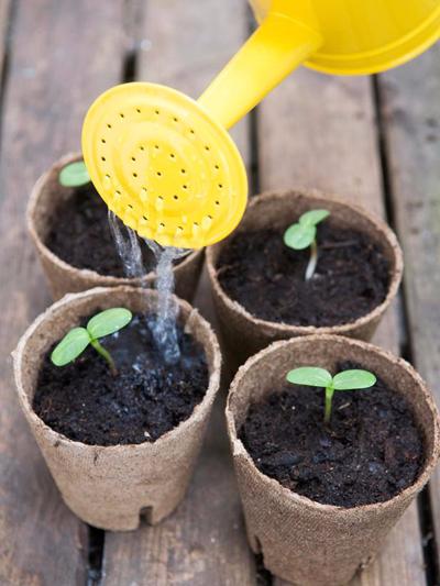 Как посадить подсолнухи (3) (400x533, 253Kb)