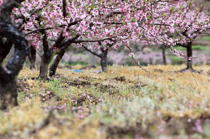 Цветущие персиковые сады5 (700x466, 463Kb)