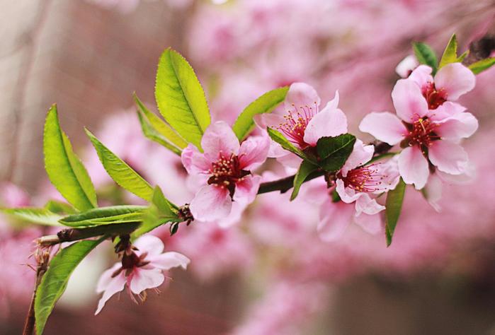 Цветущие персиковые сады7 (700x474, 357Kb)