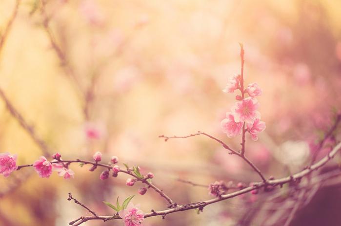 Цветущие персиковые сады9 (700x464, 251Kb)