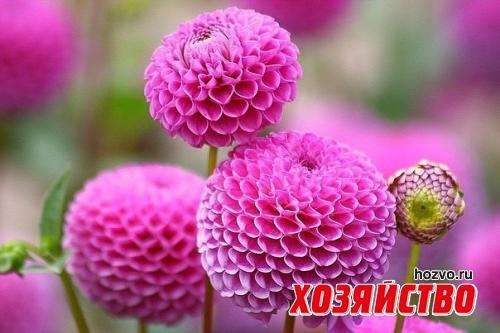 kak-cherenkovat-georginy (500x333, 143Kb)