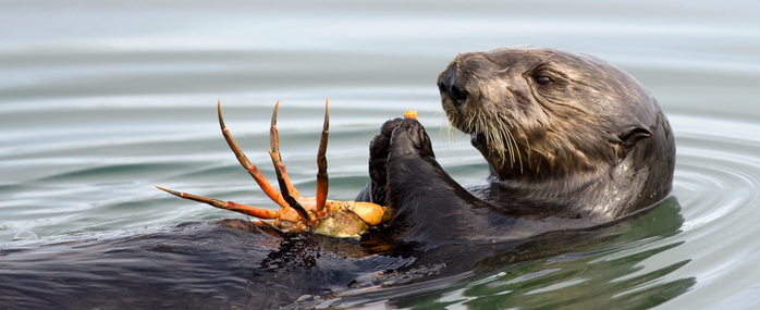 Sea-Otter-and-Crab-1480x604 (700x285, 200Kb)