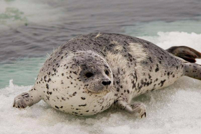 spottedsealyoung-JoshLondon-NOAA (700x467, 276Kb)