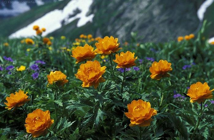 Flower02_Meadows (700x457, 383Kb)