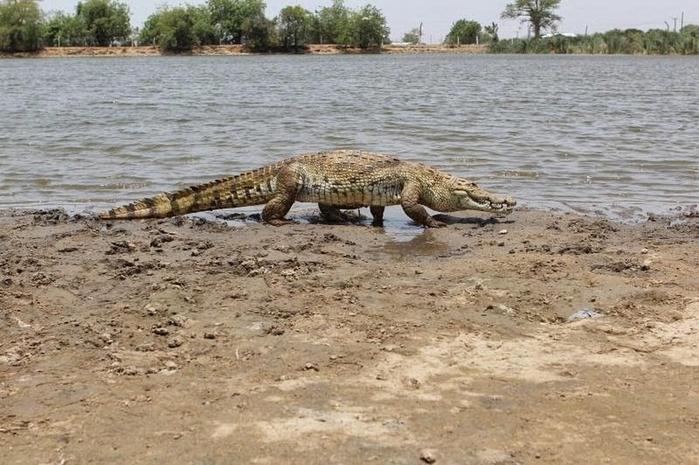 крокодилы фото 1 (700x465, 333Kb)