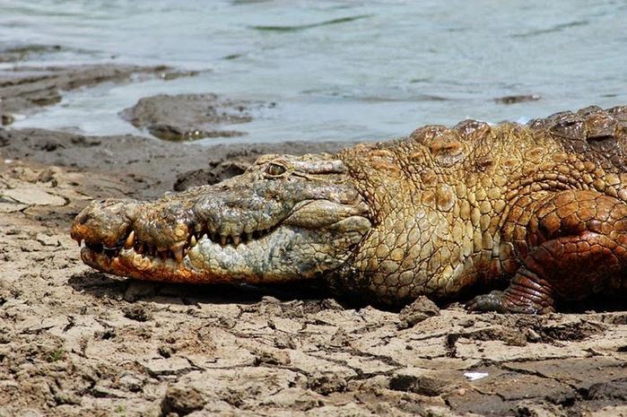 крокодилы фото 3 (700x465, 413Kb)