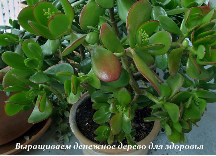 1459424172_Vuyraschivaem_denezhnoe_derevo_dlya_zdorov_ya (700x506, 560Kb)