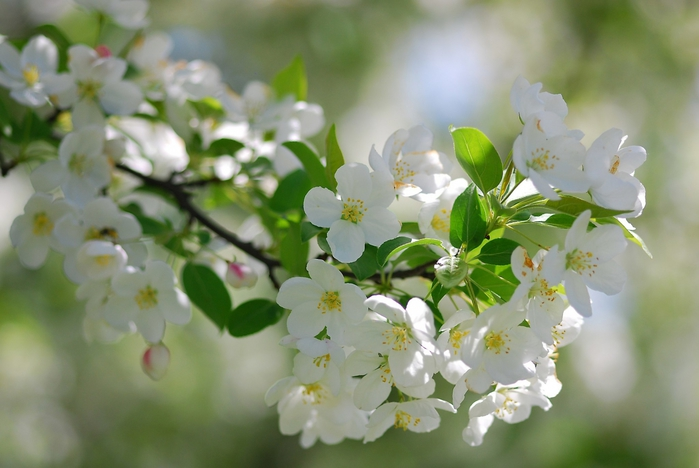 3509727____flowering_branch_of_pear_20150615_1379789942 (700x468, 200Kb)
